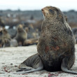 Northern fur-seals rookery — 图库照片 #2602500