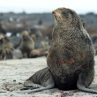 Stockfoto: Northern fur-seals rookery