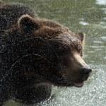 Brown bear, Kamchatka — Stock Photo #2602575