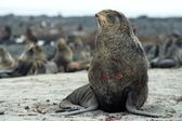 Northern fur-seals rookery — 图库照片