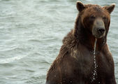 Brown bear, Kamchatka — Stock Photo