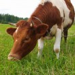 Stock Photo: Brown cow on green meadow