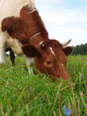 Brown cow on a green meadow — Stock Photo