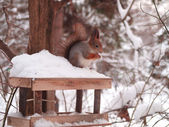 The squirrel on a feeding trough — Stock Photo