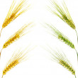 Golden and green wheat ears — Stock Photo