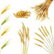 Golden wheat ears  isolated — Stock fotografie