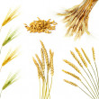 Golden wheat ears  isolated - Stock Photo