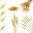 Golden wheat ears isolated — Stock Photo