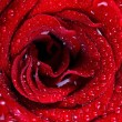 Red rose background with water drops - Stock Photo