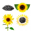 Seeds and sunflower with green leafs — Stock Photo