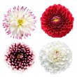 Set of colorful dahlia flowers isolated — Stock Photo