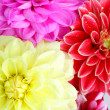 Background of dahlia flowers — Stock Photo