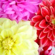 Stock Photo: Background of dahlia flowers