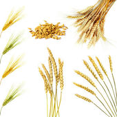Golden wheat ears isolated — Stock Photo
