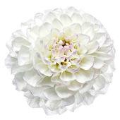 White dahlia isolated — Stock Photo