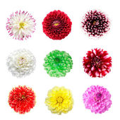 Colorful dahlia flowers isolated — Stock Photo
