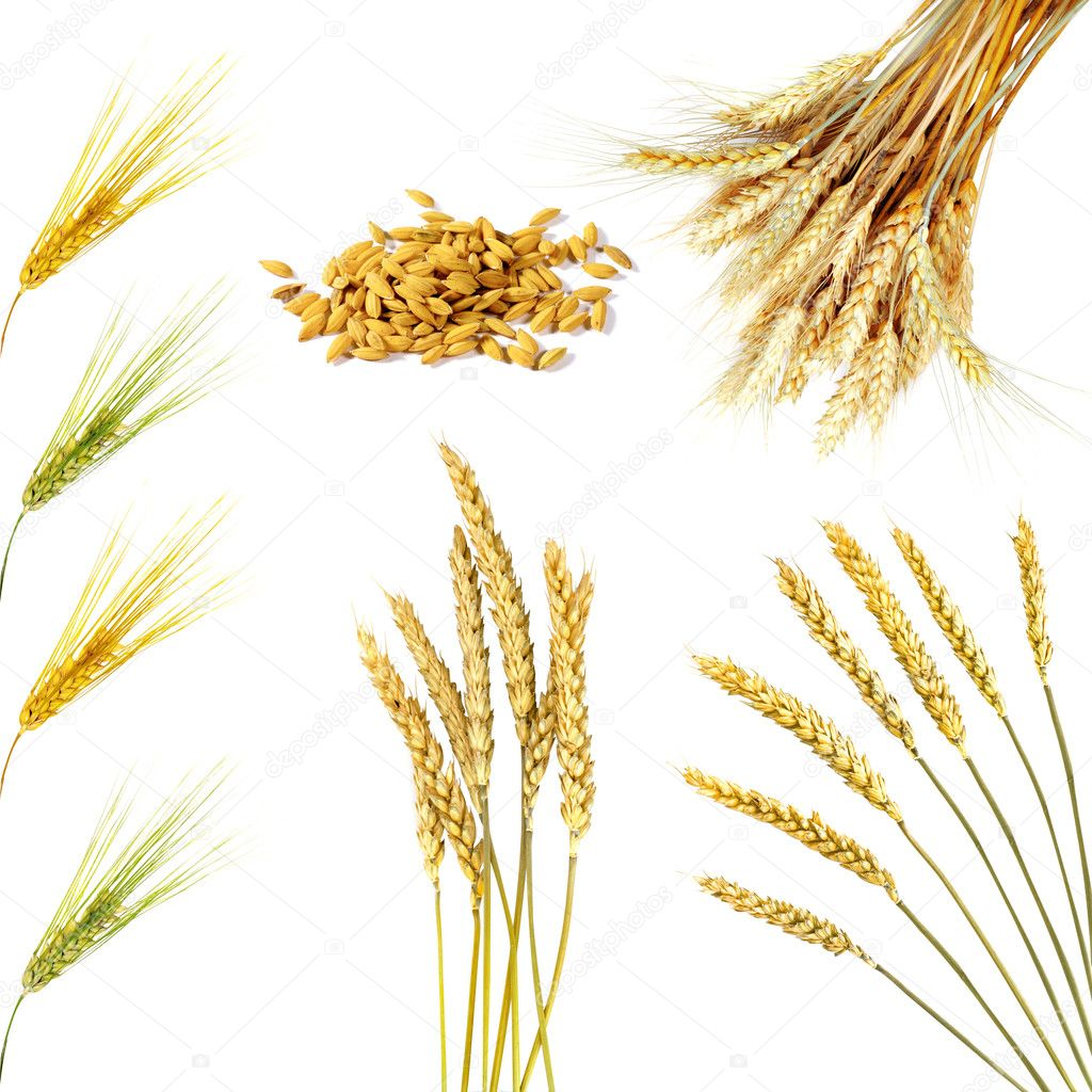 Set of  golden wheat ears  isolated   Stock Photo #1357832