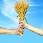 Руки, держа расслоение колосья пшеницы — Стоковое фото
