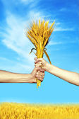 Hands holding bundle of the wheat ears — Stock Photo
