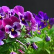 Heartsease. Fresh flower garden — Stock Photo #1390448