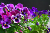 Heartsease. Fresh flower garden — Stock Photo