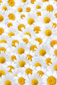 White camomile petals background — Stock Photo