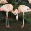 Royalty-Free Stock Photo: Flamingo