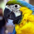Parrot ara blue-yellow — Stock Photo