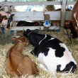 Stock Photo: Red and black-motley Holstein cows