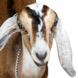 Stock Photo: Nubiibex, goat