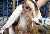 Nubian ibex, goat — Stock Photo