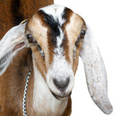 Nubian ibex, goat — Stock Photo