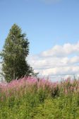 Birch and willow-herb — Stock Photo
