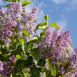 Royalty-Free Stock Photo: Lilac branch
