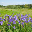 Plant of violet wild iris — Stock Photo