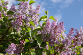 Branche de lilas — Photo