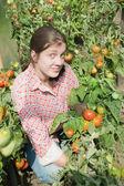 Flicka plockning tomat — Stockfoto