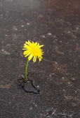 Growing yellow dandelion in asphalt — Stock Photo