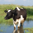 Stock Photo: The black and white cow