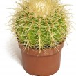 Cactus in a pot — Stock Photo
