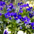 Blue pansy - Stock Photo