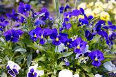 Pansy azul — Foto Stock