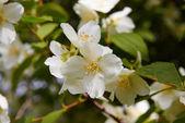 Blossom jasmine flower — Stock Photo
