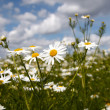 Camomile on natural background — Stock Photo