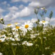 Stock Photo: Camomile on natural background