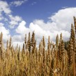 Golden wheat — Stock Photo #1215911