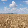 Royalty-Free Stock Photo: Wheat field panorama
