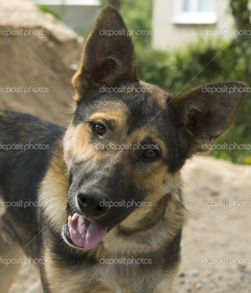 Portrait German Shepherd dog at the garden — Stock Photo #1505067