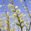 Pussy willow — Stock Photo