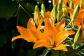 Orange lilly — Stock Photo
